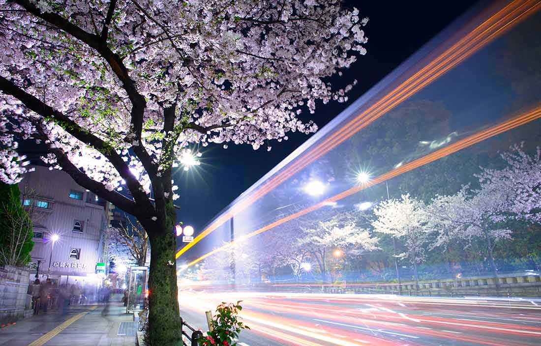 Japanese cherry blossom in downtown Tokyo.