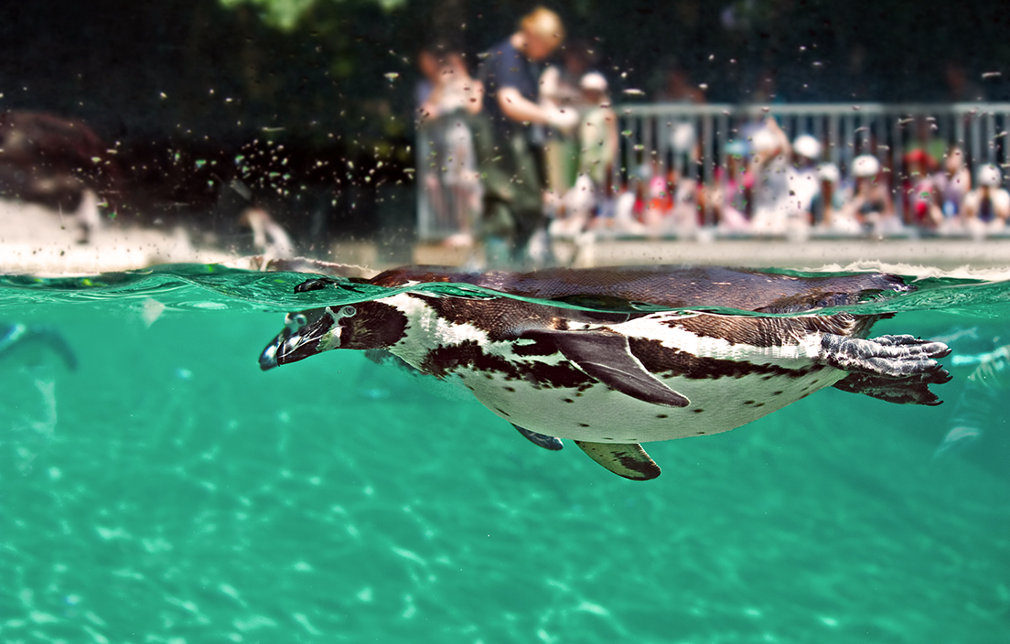 Image of penguin swimming at zoo with crowd watching